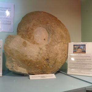 <div class='photo-title'>Austiniceras Ammonite</div><div class='photo-desc'></div>